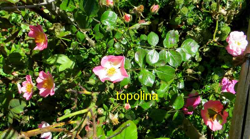roses en vrac - Page 10 Topoli10