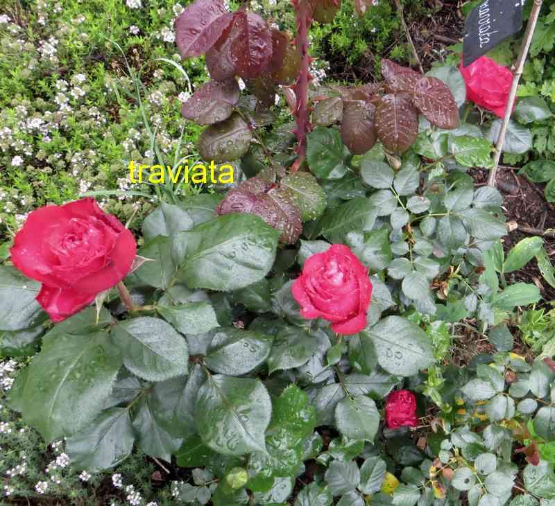 roses en vrac - Page 10 Travia10