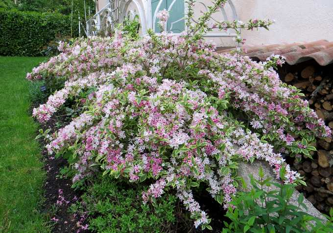 Arbuste à feuillage panaché  Weigel10