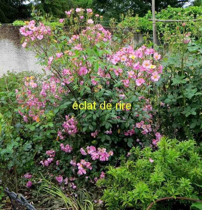 roses en vrac - Page 8 Zoclat11