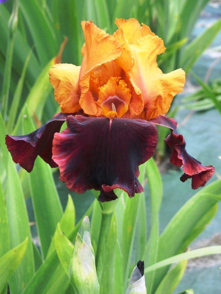 votre plus bel iris - Page 2 Sans_t13