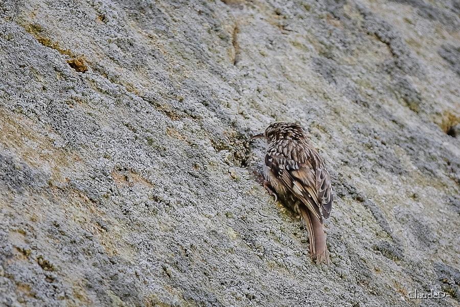 Animaux, oiseaux... etc. tout simplement ! - Page 17 Grimpe10