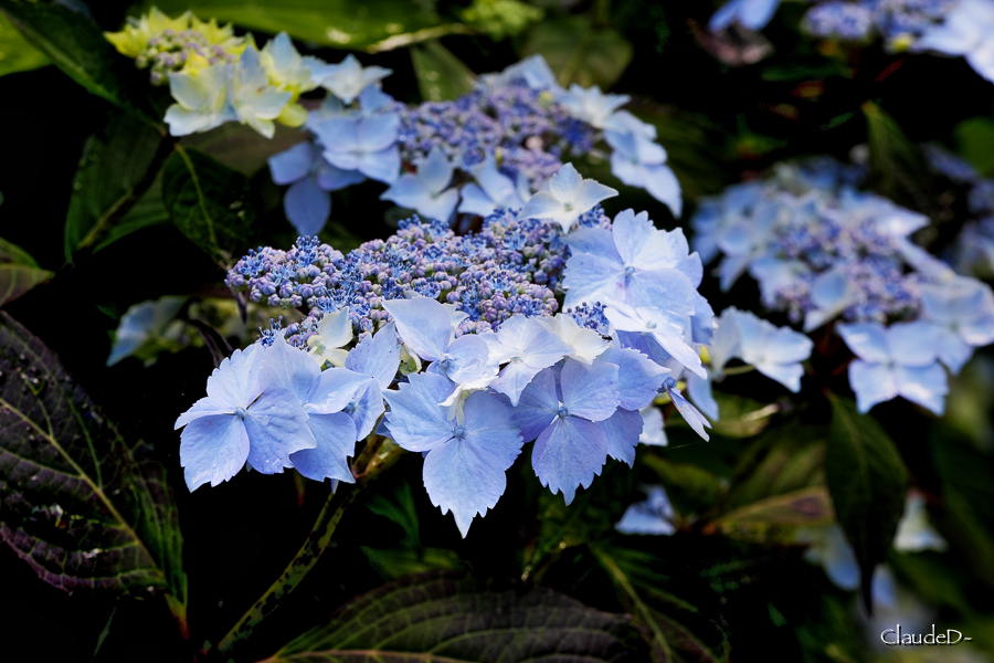 Fleurs ... tout simplement - Page 19 Hydang10