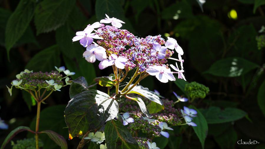 Fleurs ... tout simplement - Page 19 Hydang14