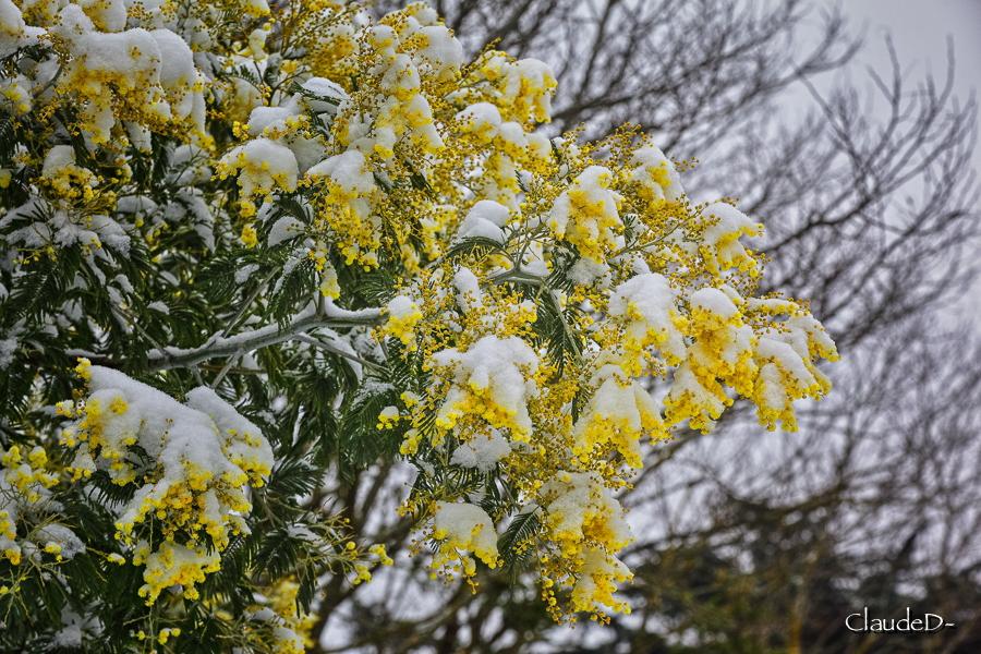 Fleurs ... tout simplement - Page 19 Mimosa10
