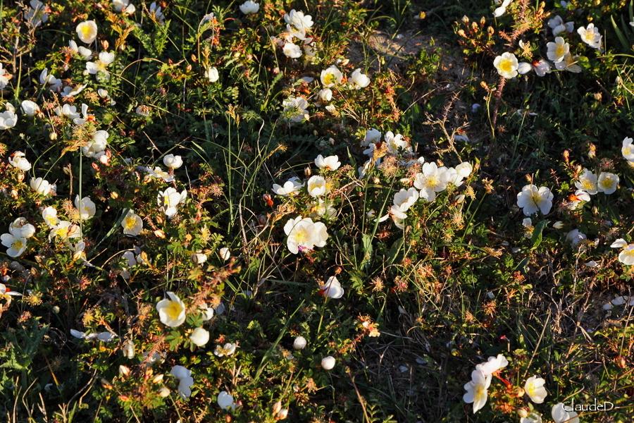 Fleurs ... tout simplement - Page 19 Rospim12