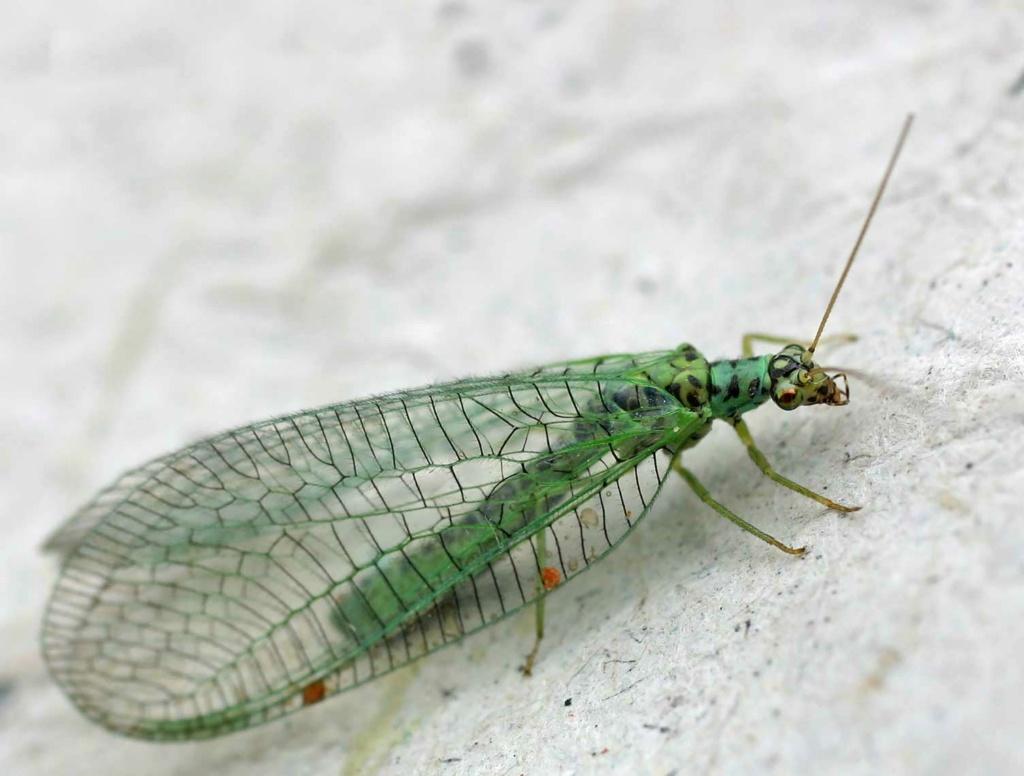Cual es tu insecto favorito? El Phthirus pubis? Chryso10