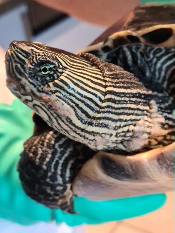 Problème de peau sur ma tortue 20210510
