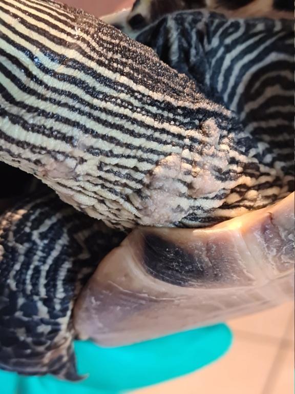 Problème de peau sur ma tortue 20210511