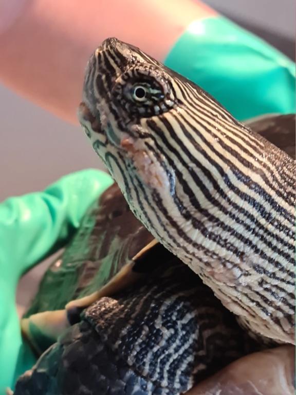 Problème de peau sur ma tortue 20210512