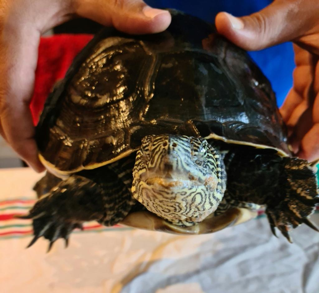 Problème de peau sur ma tortue 20210518