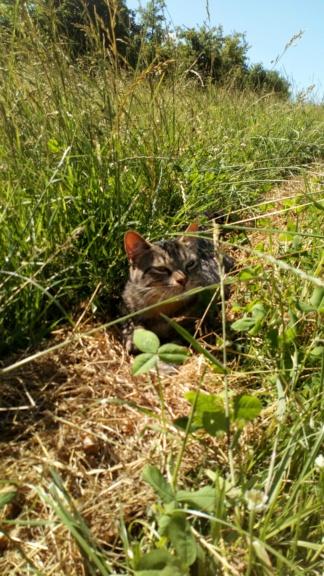 Mistigri, mâle tigré castré Dsc_0112