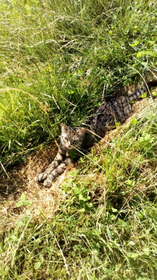 Mistigri, mâle tigré castré Dsc_0123
