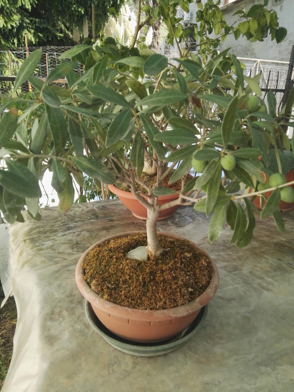 Aiuto i miei primi bonsai 39685710