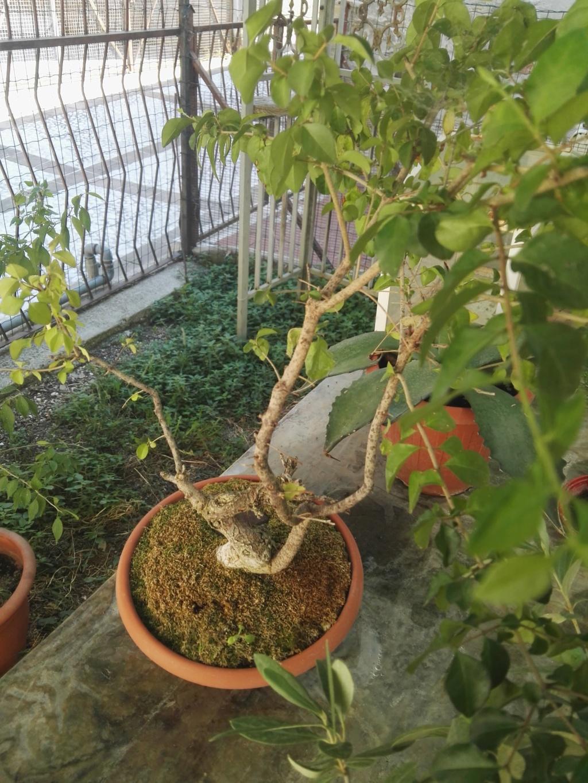 Aiuto i miei primi bonsai 39698710