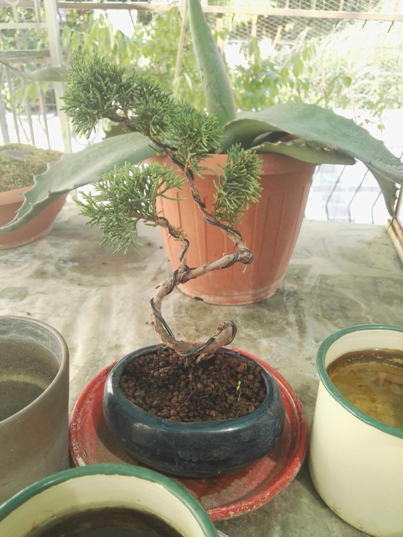 Aiuto i miei primi bonsai 39799710