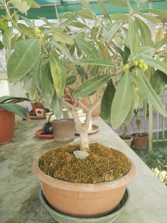 Aiuto i miei primi bonsai 39913610