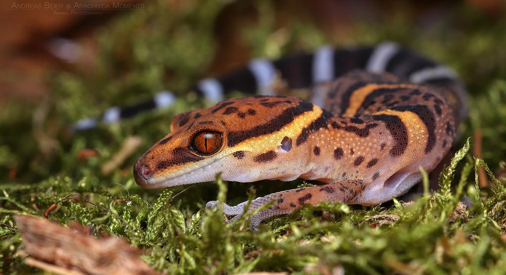 Recherche d'informations sur une espèce de gecko 34461010