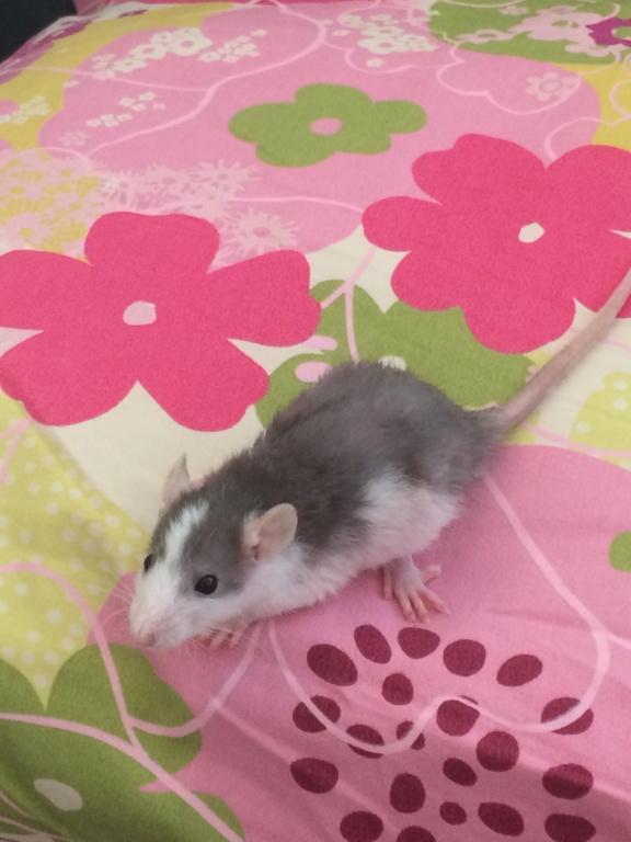 2 Petits Rats Mâles  Img_1512