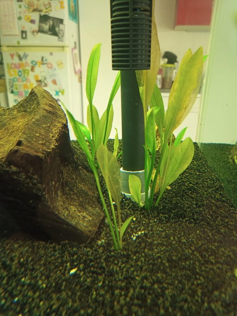 Feuille qui deviennent translucide  Plante14