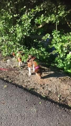 Ginka - femelle - fourrière de Târgu Frumos - sera en famille d'accueil dans le 67 en mai - Page 2 4191bc10