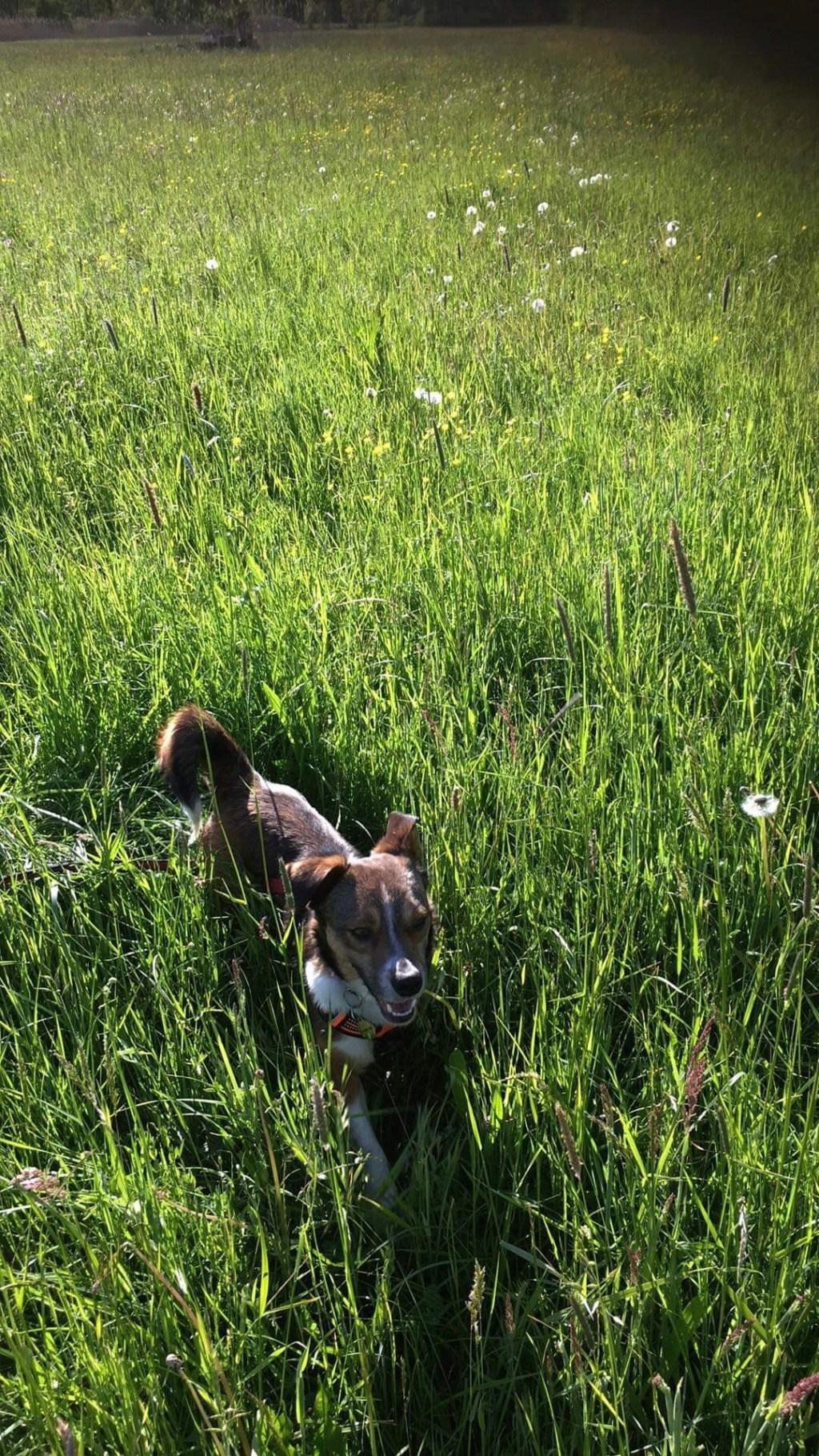 Ginka - femelle - fourrière de Târgu Frumos - sera en famille d'accueil dans le 67 en mai - Page 2 8496fc10