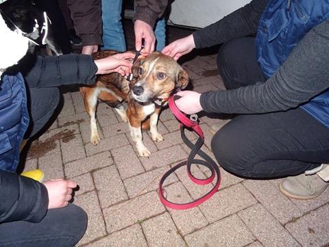 Ginka - femelle - fourrière de Târgu Frumos - sera en famille d'accueil dans le 67 en mai 99b3d210