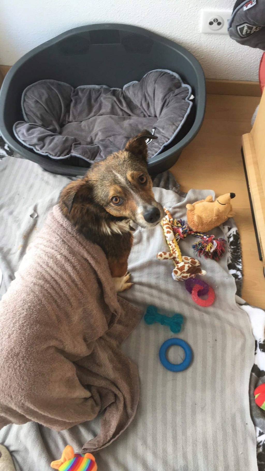 Ginka - femelle - fourrière de Târgu Frumos - sera en famille d'accueil dans le 67 en mai - Page 2 C719f710