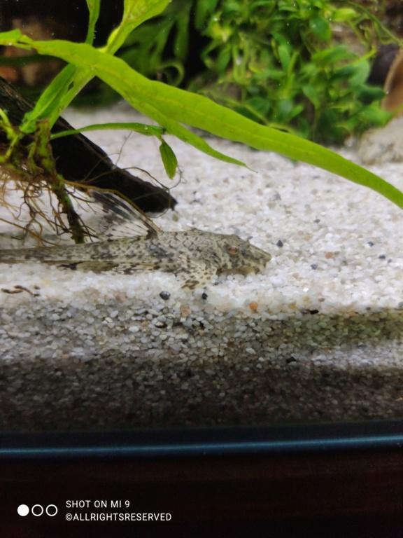 Nouvel espèce => Rineloricaria Parva  Img_2085