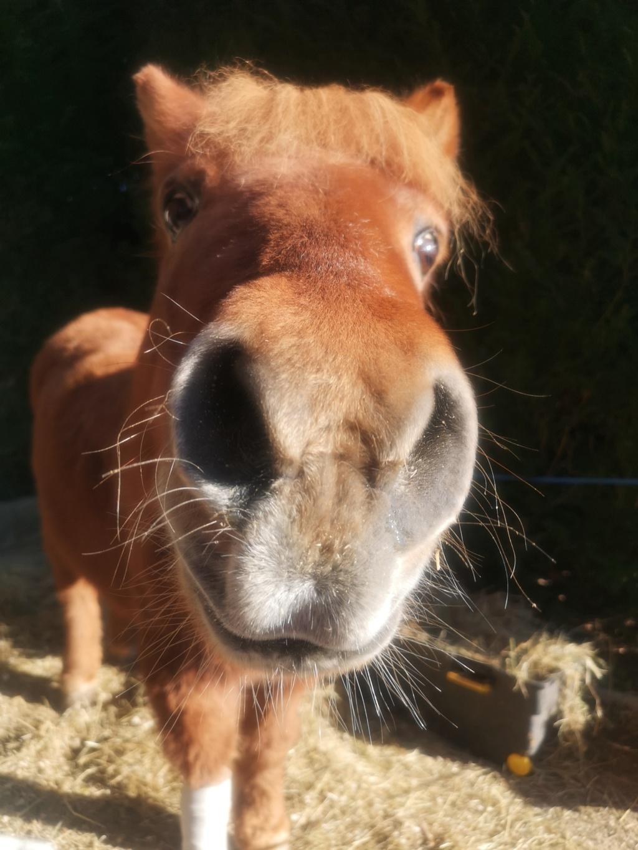 CARAMEL – Ponette ONC typée Shetland née en 1999 - Reste chez sa propriétaire Img_2016