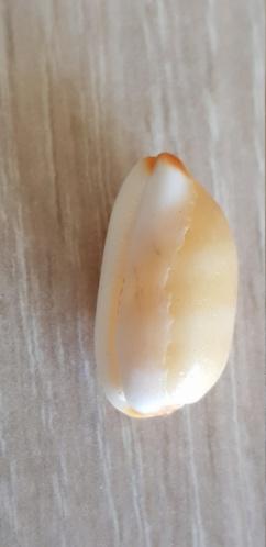 Luria_isabella_(Linnaeus_1758) 20210127