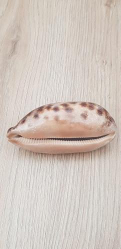 Chelycypraea_testudinaria_(Linnaeus_1758) 20210450