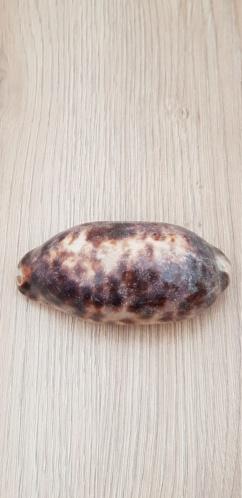 Chelycypraea_testudinaria_(Linnaeus_1758) 20210451