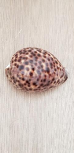Cypraea_tigris_(Linnaeus_1758) 20210452