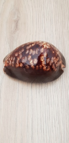 Mauritia_mauritiana_(Linnaeus_1758) 20210454