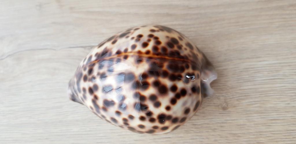 Cypraea_tigris_(Linnaeus_1758) 20210456
