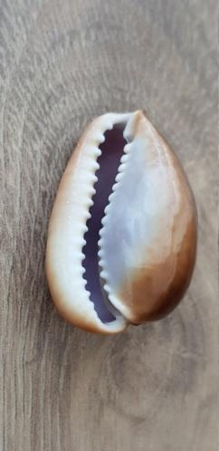 Monetaria_caputserpentis_(Linnaeus_1758)_sub_adulte 20210480