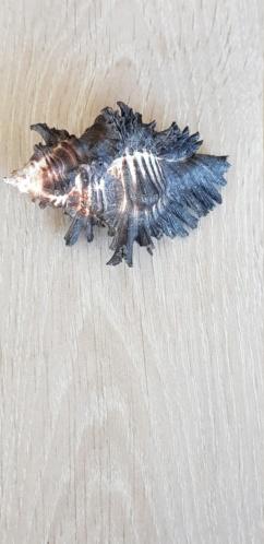 Chicoreus_brunneus (Link, 1807) 20210518