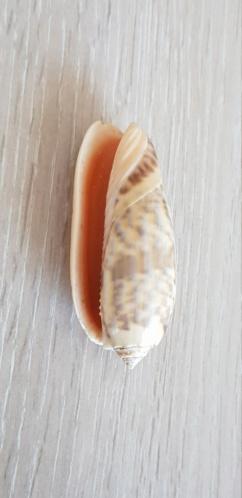 Miniaceoliva_miniacea_miniacea_(Röding, 1798) 20210541