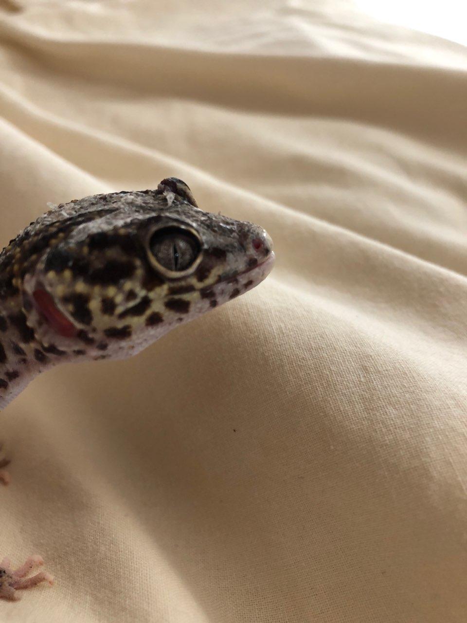 Gecko léopard : protubérance au dessus de l'œil. Img_2010