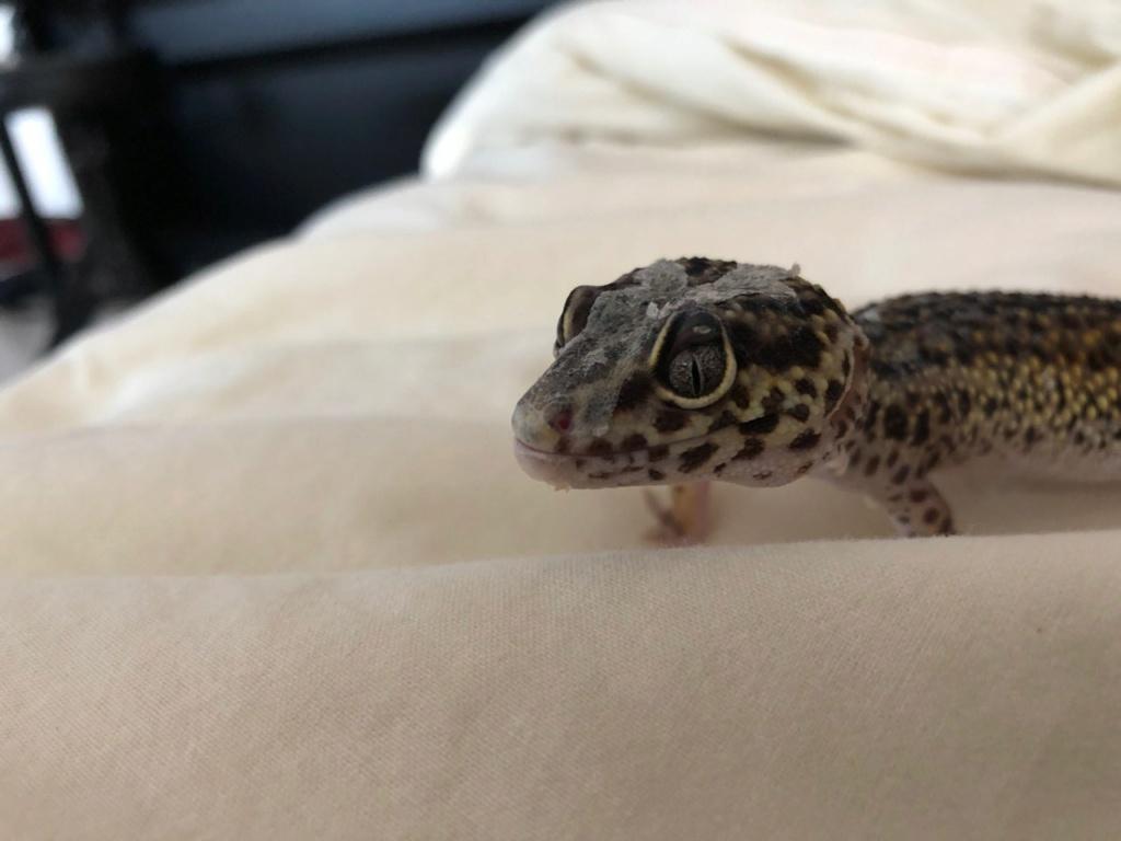 Gecko léopard : protubérance au dessus de l'œil. Img_2012