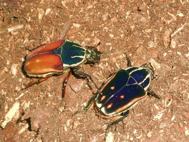 Mecynorrhina torquata X ugandensis P1020520
