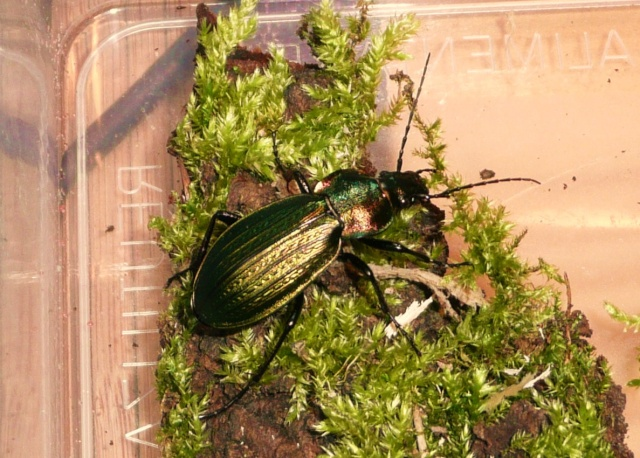 [Carabus (Morphocarabus) monilis]Carabus monilis ? P1020630