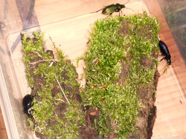 [Carabus (Morphocarabus) monilis]Carabus monilis ? P1020632