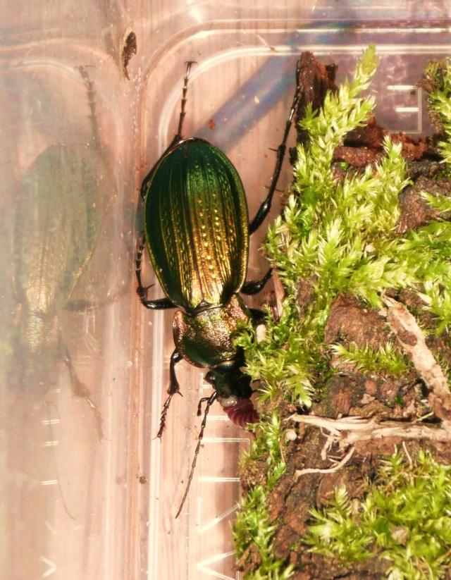 [Carabus (Morphocarabus) monilis]Carabus monilis ? P1020633