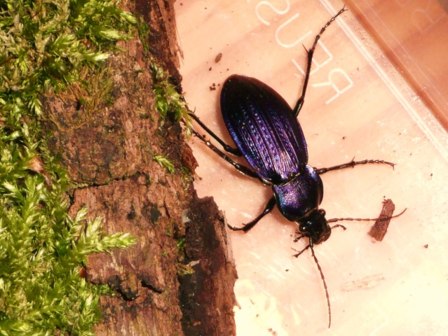 [Carabus (Morphocarabus) monilis]Carabus monilis ? P1020634