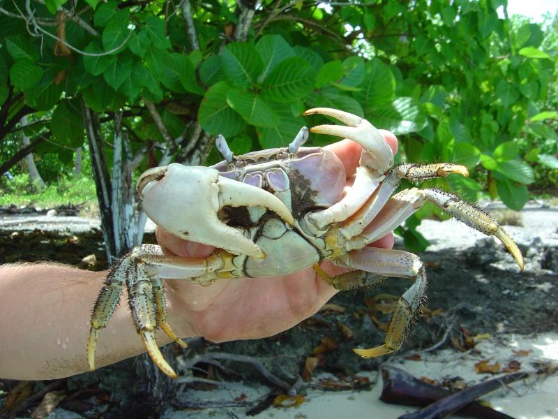 Crabe des cocotiers Dsc02411