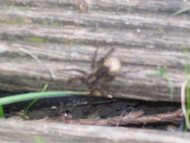 petite araignée des jardins Anif_c10