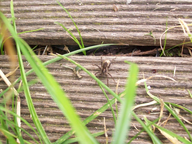petite araignée des jardins Anif_c11