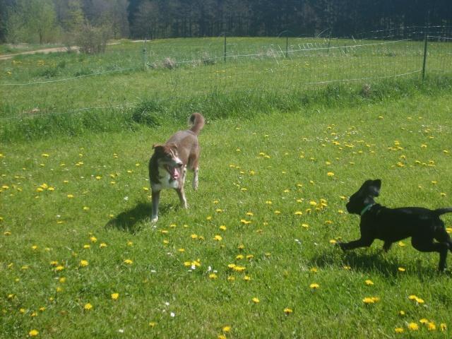 LOUP - mâle croisé husky 8 mois - (Belgique) - Page 2 Photos14